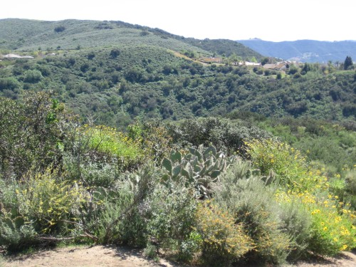 A natural trail border of at least six species of California native shrub, including Artemisa, Encelia, Rhus, and Opuntia species