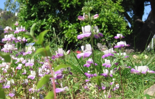 Several Collinsia heterophylla specimens in bloom, shot close from ground-level