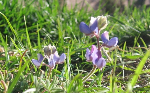 Close-up shot, from ground level, of a single specimen of Lupinus nanus